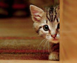 signes de peur chez un chat