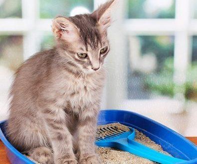 apprendre à son chat l'utilisation de la litière