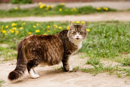 gestation pour une chatte