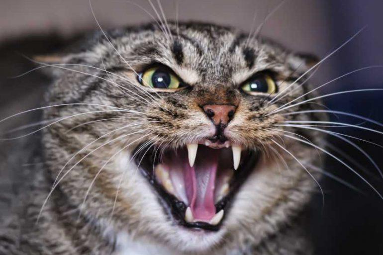 signes d'agressivité chez un chat